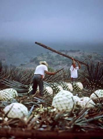 Cactus harvesting in mexico
